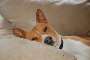 My late basenji, Banner. He says, you're not weird, Mom!