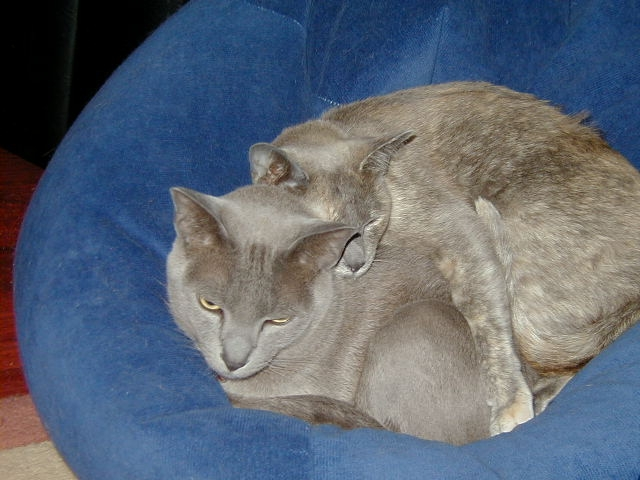 "Shona Husk's Sarsen, Blue Burmese age 10 and Satin Blue Burmese Tortie age 9 ""U C this?  U C want I haz to put up with?"""