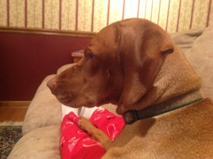 Lali  vizsla watching ANTM with the family